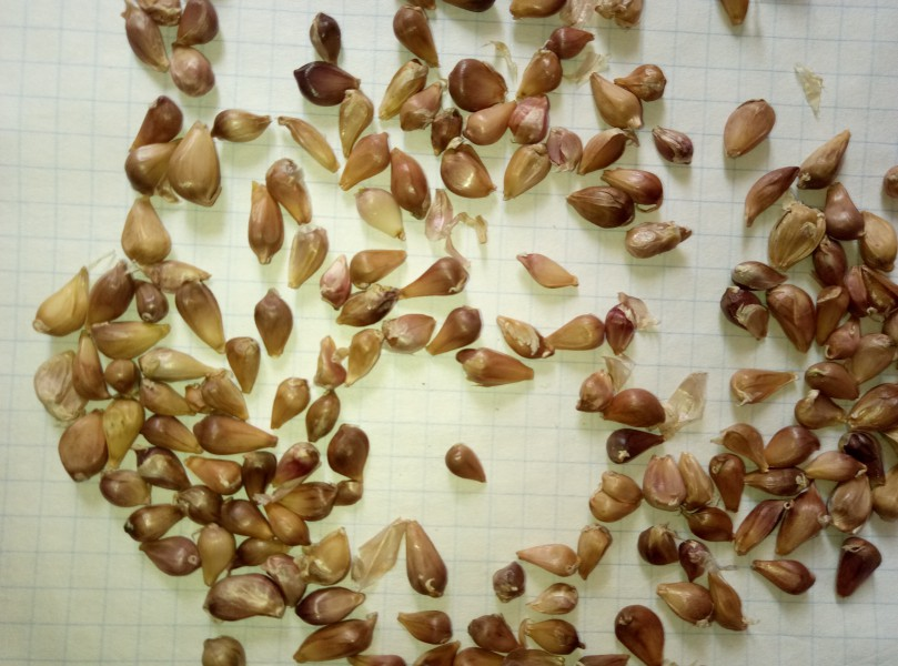 Семена для чеснока