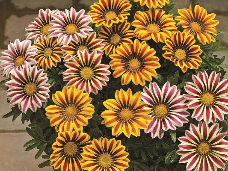 Семена цветов и декоративных растений