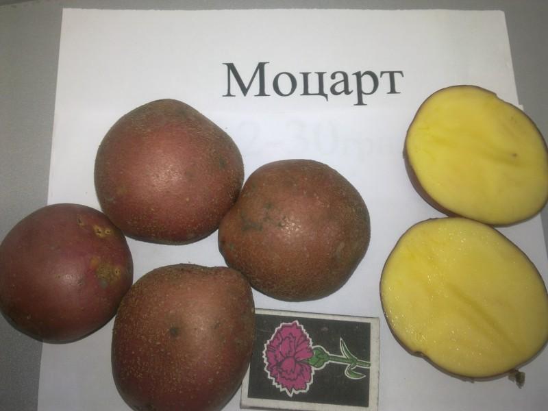 картофель фото и рост