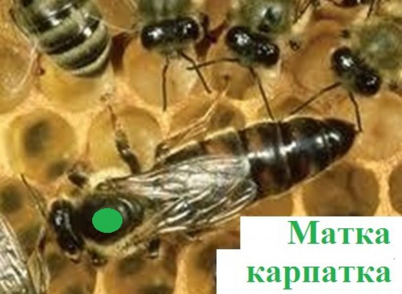 Продам матки карпатки - Мёд, продукция пчеловодства - Торговая площадка на сайте 4sg.com.ua, здесь вы можете купить, продать с.х
